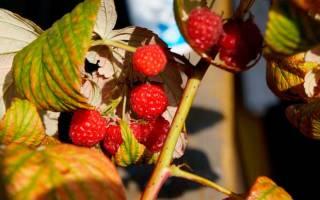 Уход за ремонтантной малиной осенью подготовка к зиме