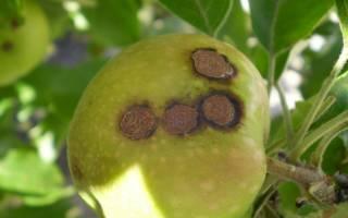 Когда опрыскивать яблони железным купоросом осенью