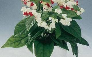 Цветок с зелеными листьями и красными листьями комнатный