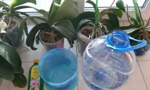 Сколько времени нужно держать орхидею в воде при поливе