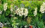 Юкка садовая посадка и уход фото