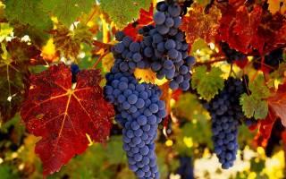 Виноград осенью подкормка обрезка уход