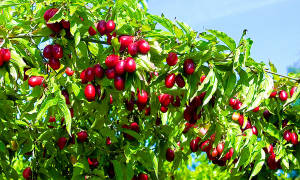Кизил куст или дерево