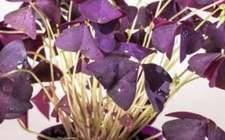 Комнатные растения на удачу и счастье