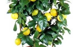 Комнатный лимон – краткое описание