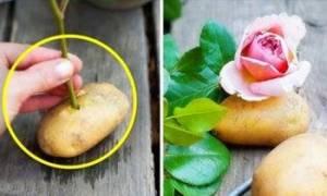 Выращивание розы из черенка в домашних условиях в картошке
